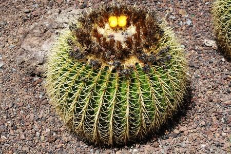 macroshot: cactus echinocactus grusonii,Gran Canaria,Spain