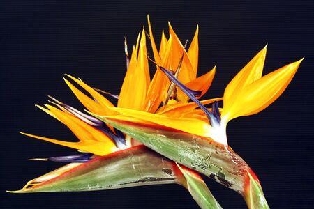 strelitzia,Gran Canaria,Spain photo