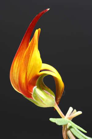 faboideae: lotus maculatus,Gran Canaria,Spain