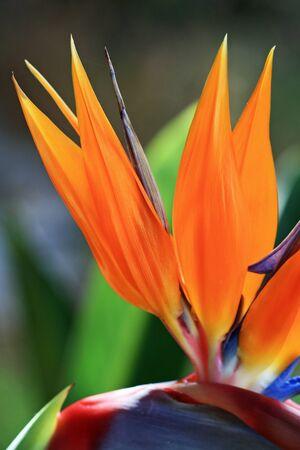 strelitzia,Gran Canaria,Spain