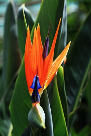 strelitzia,Gran Canaria,Spain photo