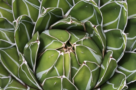 queen victoria agave Stock Photo - 12996503