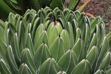 queen victoria agave photo