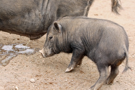 pot bellied pig Stock Photo - 13000078