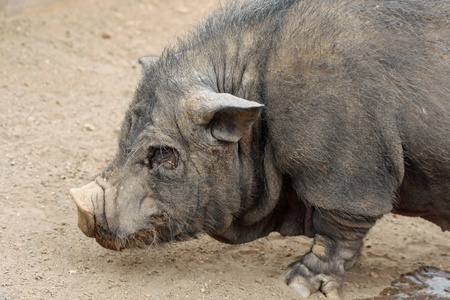 pot bellied pig photo
