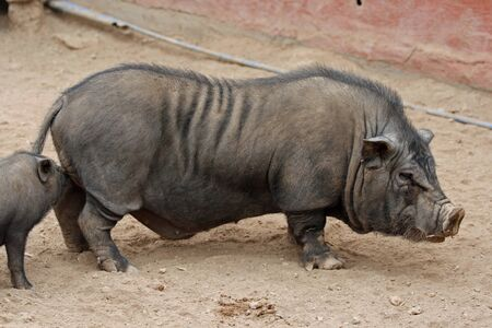 pot bellied pig Stock Photo - 13000029