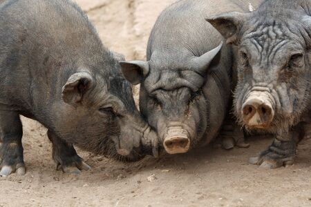 pot bellied pig Stock Photo - 12999993