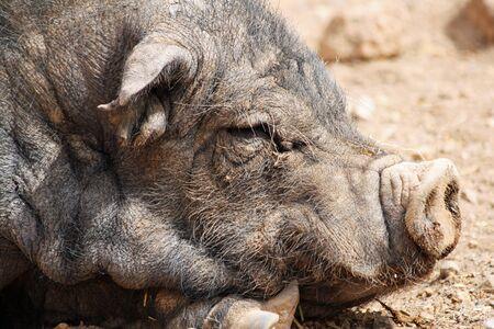 pot bellied: pot bellied pig