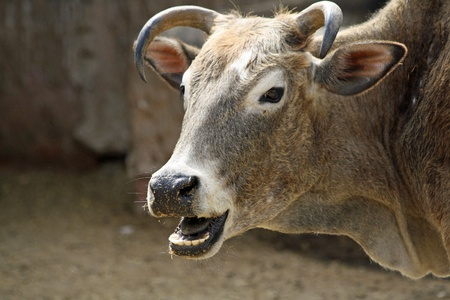 bos: humped cattle