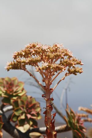 crassulacea: succulent aeonium percarneum,Gran Canaria,Spain Stock Photo