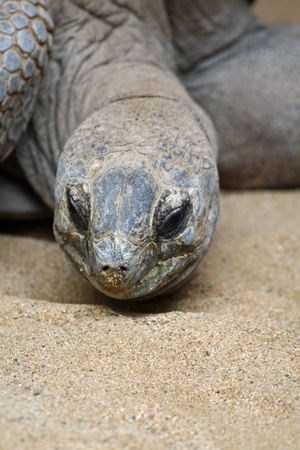 Aldabra giant tortoise,Gran Canaria,Spain Stock Photo - 13081688