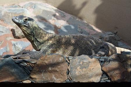komodo: Komodo drago, Gran Canaria, Spagna