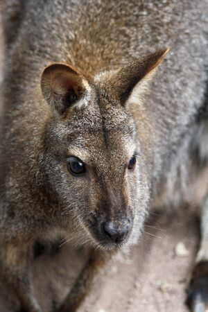 necked: red necked wallaby,Gran Canaria,Spain