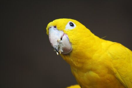 psittacidae: golden parakeet,Gran Canaria,Spain