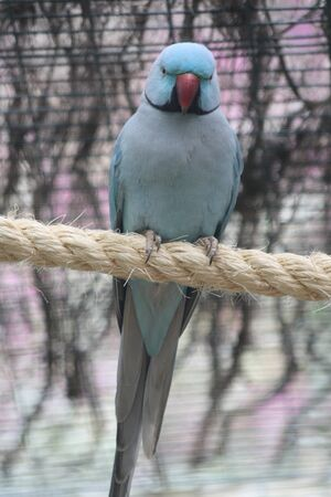 necked: ring necked parakeet,Gran Canaria,Spain