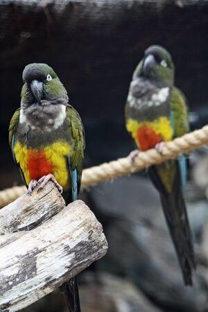 burrowing: burrowing parrot,Gran Canaria,Spain