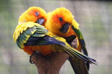 psittacidae: sun parakeet,Gran Canaria,Spain
