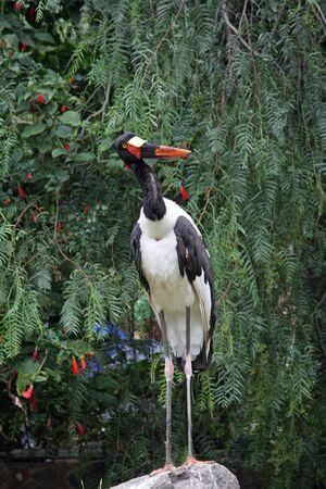 ciconiiformes: saddle-billed stork,Gran Canaria,Spain Stock Photo