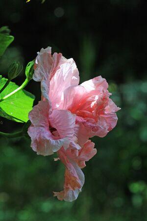 malvales: hibiscus,Gran Canaria,Spain