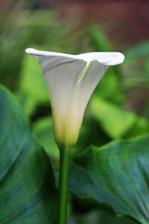 tracheophyta: calla,Gran Canaria,Spain Stock Photo