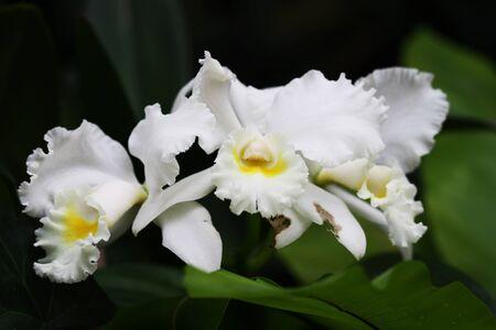 blte: Orchidee cattleya im Loro-parque,Tenerife mit Makro 100mm analog auf Digital- Kamera aufgenommen