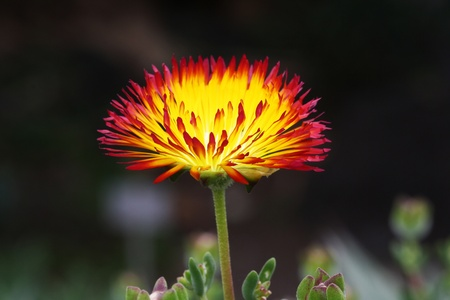 Mittagsblume drosanthemum bicolorim jardin canario, Gran Canaria Stock Photo - 13313309