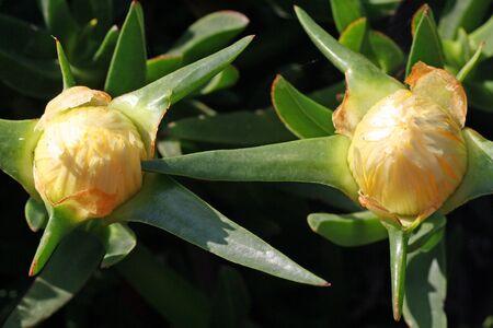 Mittagsblume carpobrotus edulisniedrig und grossfl�chig wachsende Pflanze auf Gran Canariamit Makro 100mm analog auf Digital- Kamera aufgenommen Stock Photo - 13313376
