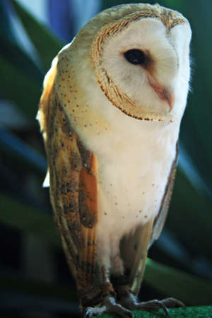strigiformes: barn owl,Gran Canaria,Spain Stock Photo