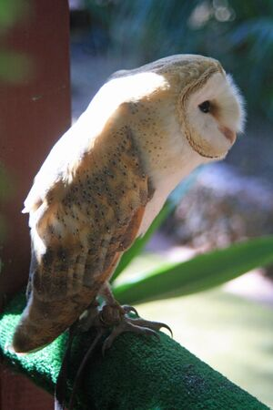 barn owl,Gran Canaria,Spain Stock Photo - 13318988