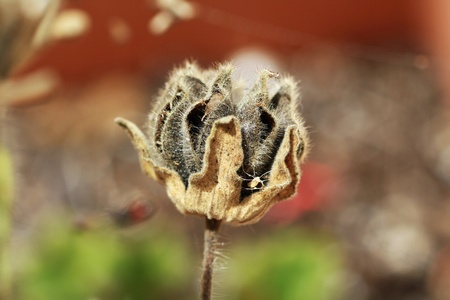 malvales: hairy indian mallow,Gran Canaria,Spain