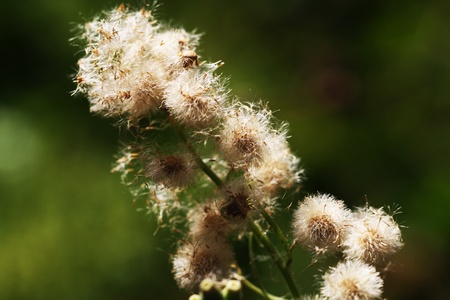 asterids: argentine fleabane,Gran Canaria,Spain Stock Photo