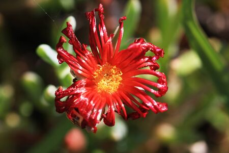 iceplant: red-flowered iceplant,Gran Canaria,Spain