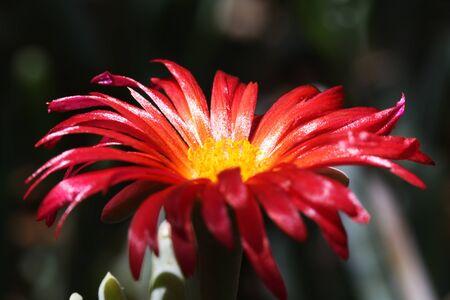 coppery: fiori rossi Iceplant, Gran Canaria, Spagna Archivio Fotografico