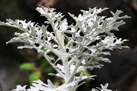 senecio: silver ragwort,Gran Canaria,Spain