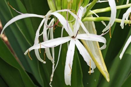 spermatophytina: spider lily,Gran Canaria,Spain