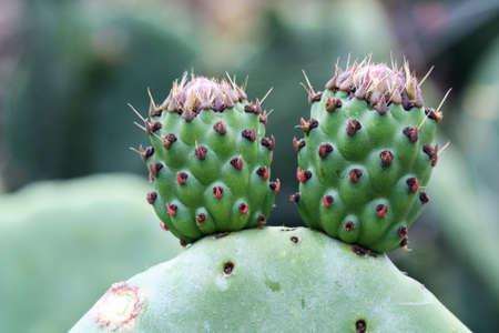 opuntia: cactus opuntia,Gran Canaria,Spain Stock Photo