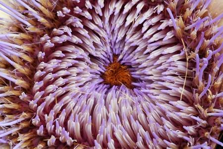 spermatophytina: artichoke,Gran Canaria,Spain
