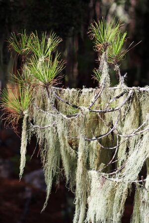 pinaceae: canary island pine,Gran Canaria,Spain