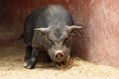 pot bellied pig,Gran Canaria,Spain Stock Photo - 14566070