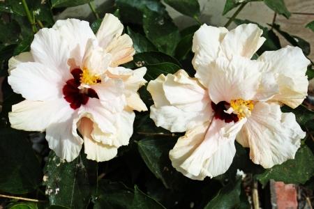 tracheophyta: hibiscus,Gran Canaria,Spain