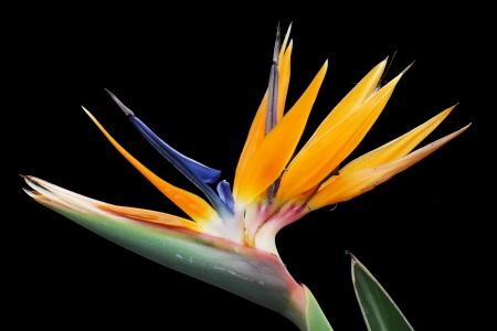 tracheophyta: strelitzia,Gran Canaria,Spain