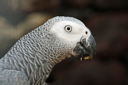 african grey parrot,Gran Canaria,Spain