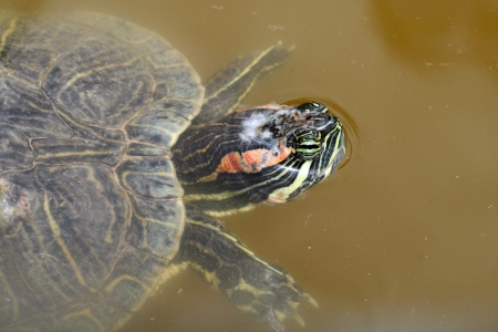 red-eared slider,Gran Canaria,Spain Stock Photo