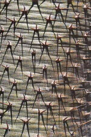 spermatophytina: pachypodium geayi,Gran Canaria,Spain
