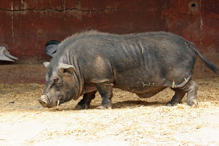 bellied: pot bellied pig,Gran Canaria,Spain Stock Photo