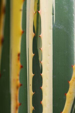 tracheophyta: furcraea selloa marginata,Gran Canaria,Spain