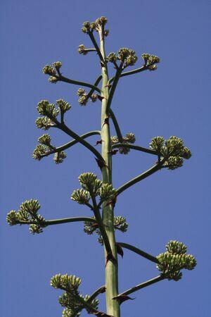 century plant: agave americana,Gran Canaria,Spain Stock Photo