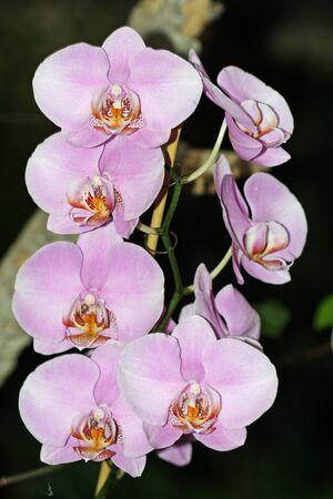 orchid phalaenopsis,Gran Canaria,Spain Stock Photo