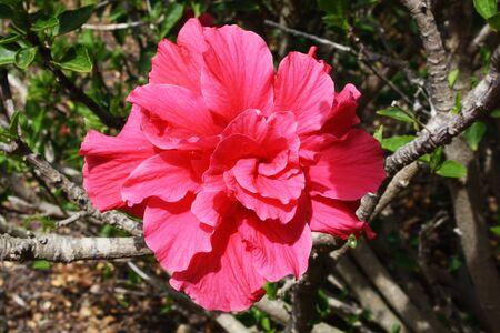 sinensis: hibiscus rosa sinensis