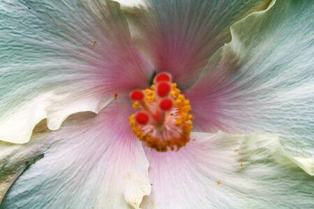 malvales: hibiscus